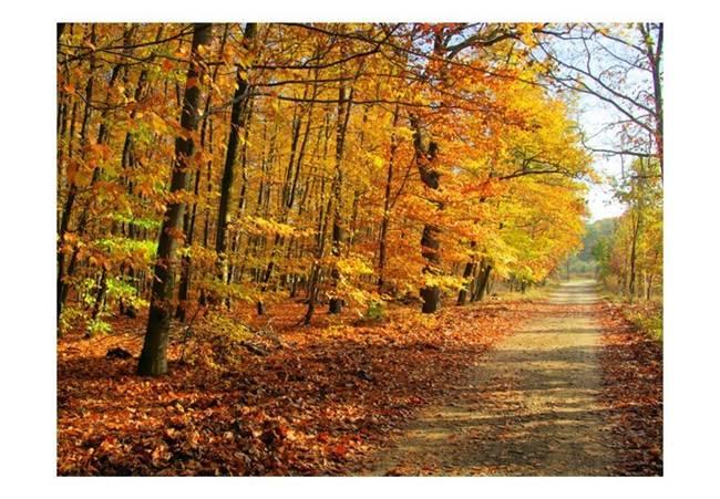 Fototapeta - Beech forest