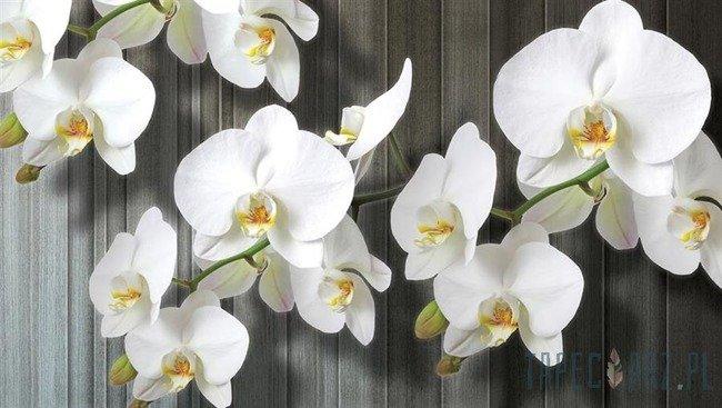 Fototapeta Biały storczyk 1015
