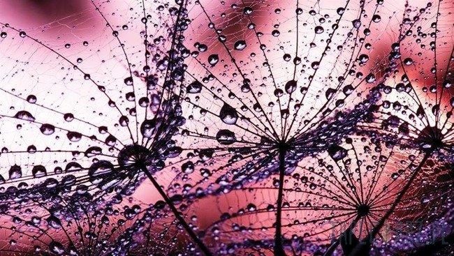 Fototapeta Dmuchawce - różowe tło 1007