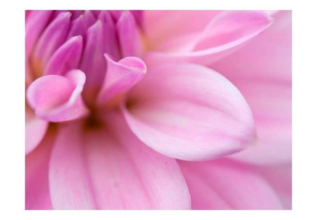 Fototapeta - Kwiatowe płatki - dalia