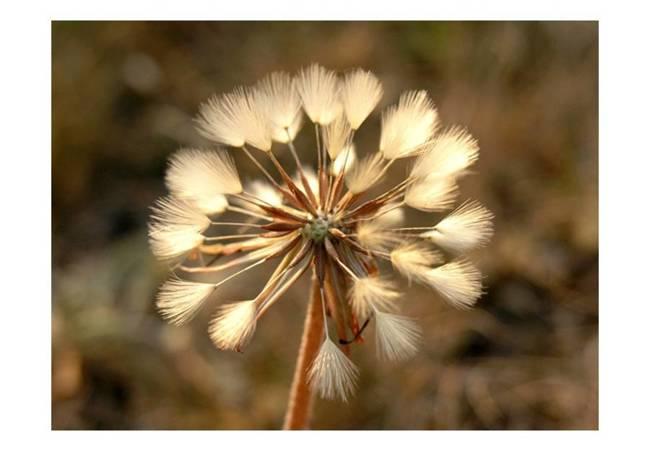 Fototapeta - Lato w pełni - dmuchawiec