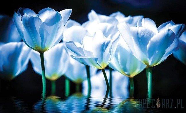 Fototapeta Niebieskie tulipany 1103