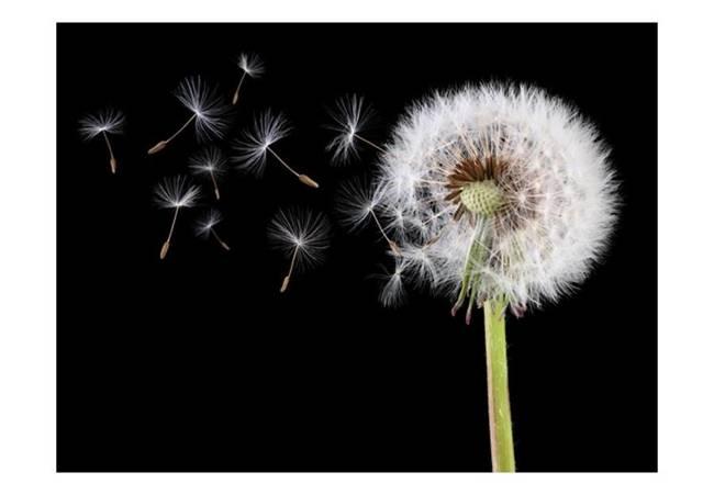 Fototapeta - Wiatr i dmuchawiec