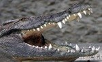 Fototapeta Krokodyl 3620